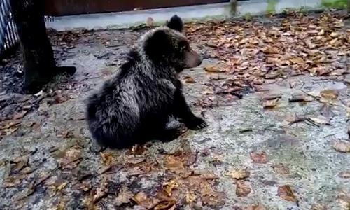 ВПриморском сафари-парке поселились двое осиротевших медвежат